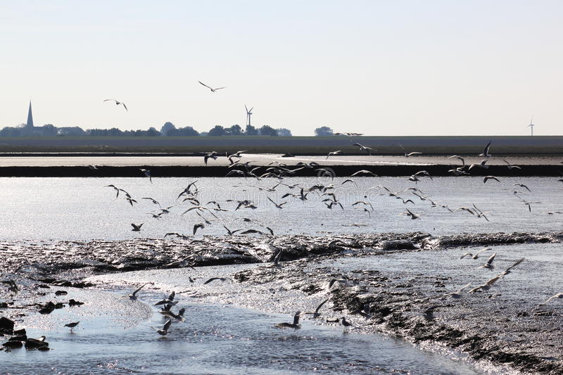 Gulls in sparkling water of dutch Waddenzee near Holwerd. The Wadden Sea is the largest unbroken system of intertidal sand and mud flats in the world. It is a stock images