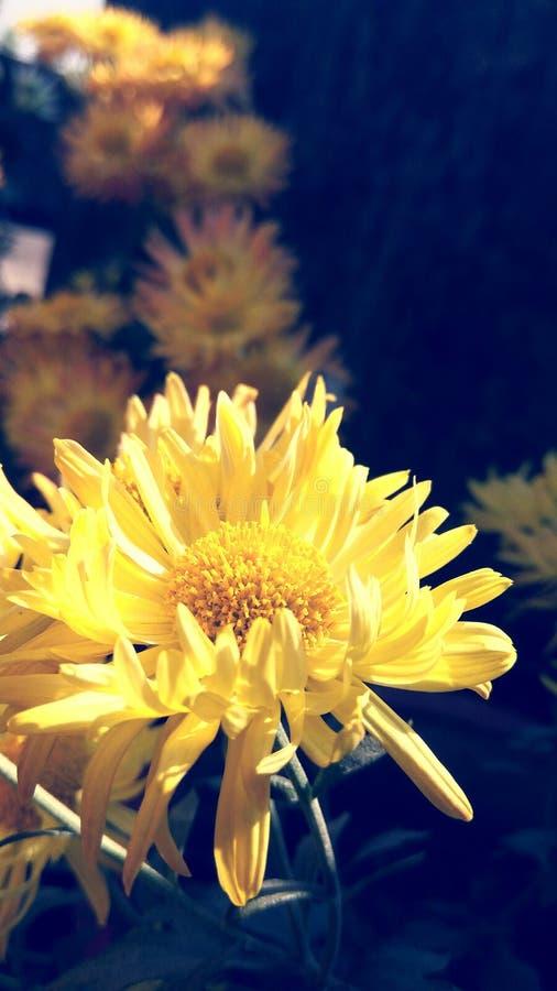 Gulna blommor arkivfoton