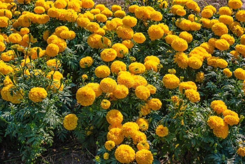 Gulna blommor Gulingen blommar bakgrund royaltyfri fotografi
