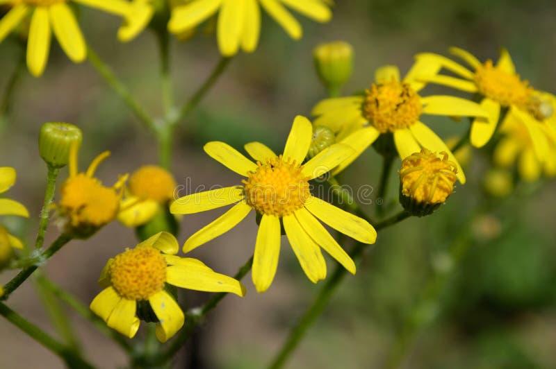 Gulna blommor Kamomill royaltyfria foton