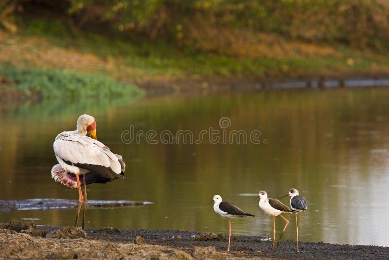 Gulna den fakturerade storken, den Kruger nationalparken, SYDAFRIKA arkivfoto