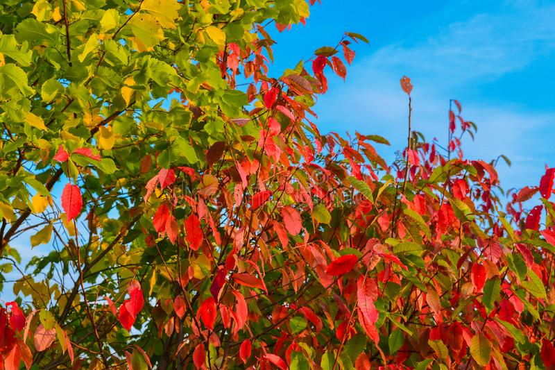 Gulna, göra grön sidor på ett träd mot en blå himmel, rött Hösten landskap Varmt tonar royaltyfri foto