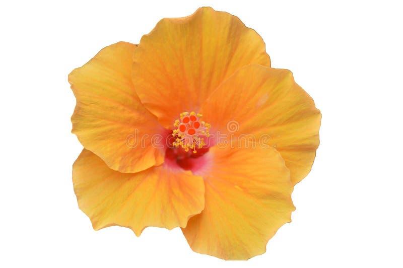 Gulna hibiskusblomman royaltyfri foto