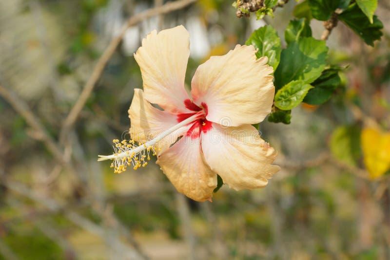Gulna hibiskusblomman arkivbilder