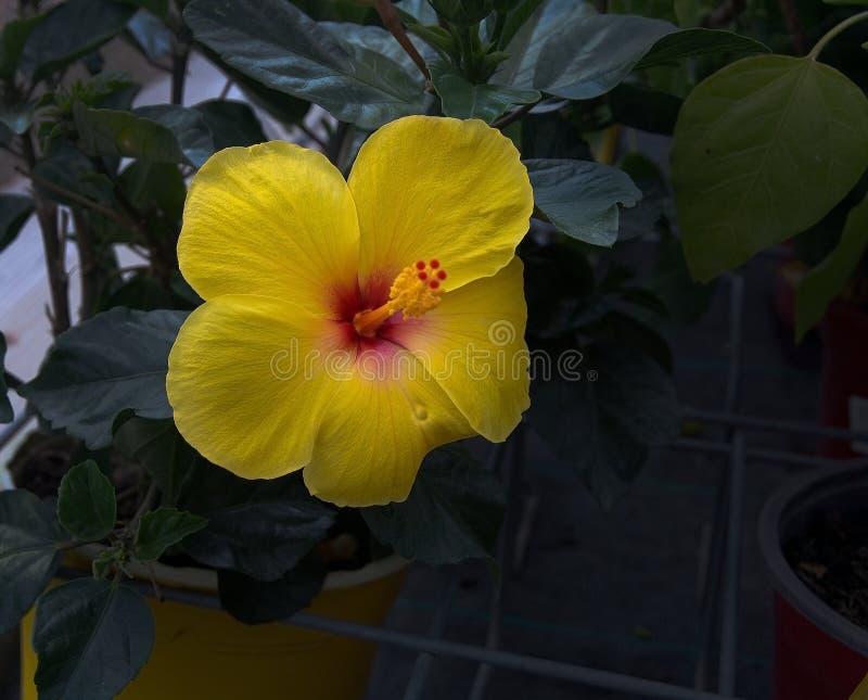 Gulna hibiskusblomman arkivfoton