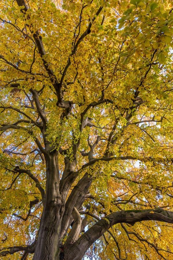 Gulnade sidor på ett jätte- träd royaltyfri bild
