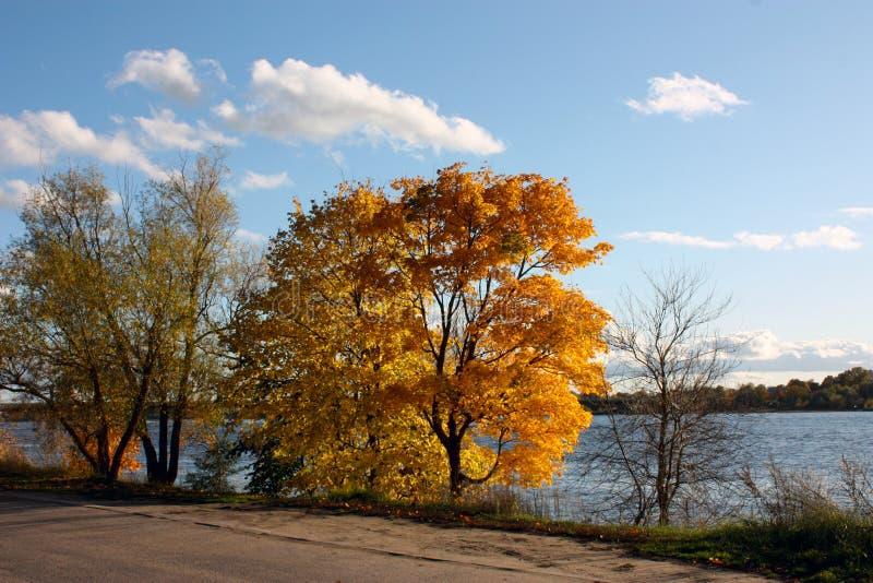 Gulnade träd på banken av floden mot bakgrunden av en ljus blå himmel med vita moln fotografering för bildbyråer