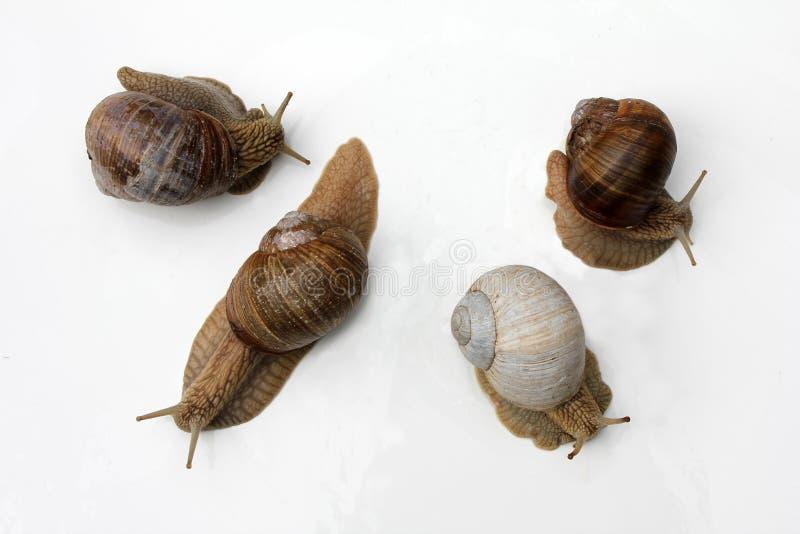 Guloseimas francesas: caracóis Escargot de Bourgogne, Roman Snail imagens de stock