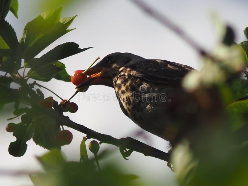 Guloso corajoso voado ladrão do pássaro da baga imagem de stock