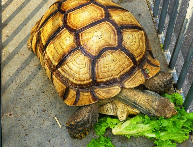 Gult äta för sköldpadda royaltyfri bild