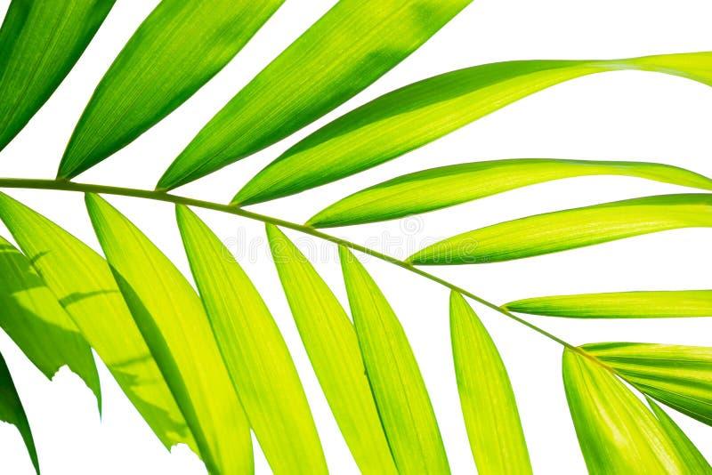 Gult biologiblad för grön färg pinnately av den Macarthurs palmträdet som isoleras på vit bakgrund, stansad med urklippbanan arkivfoto