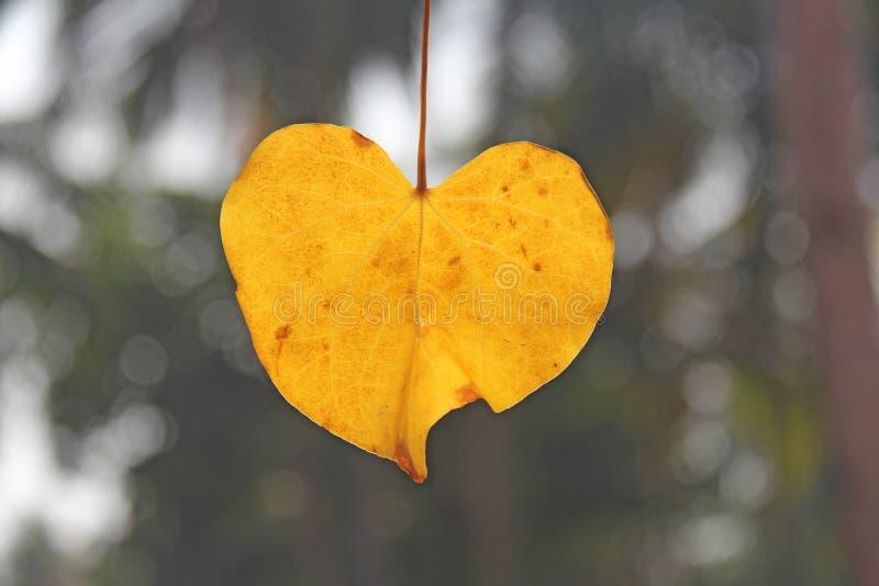 Gult blad av ett träd i formen av en hjärta Romantisk design för höst Design med kopieringsutrymme Top beskådar royaltyfri bild