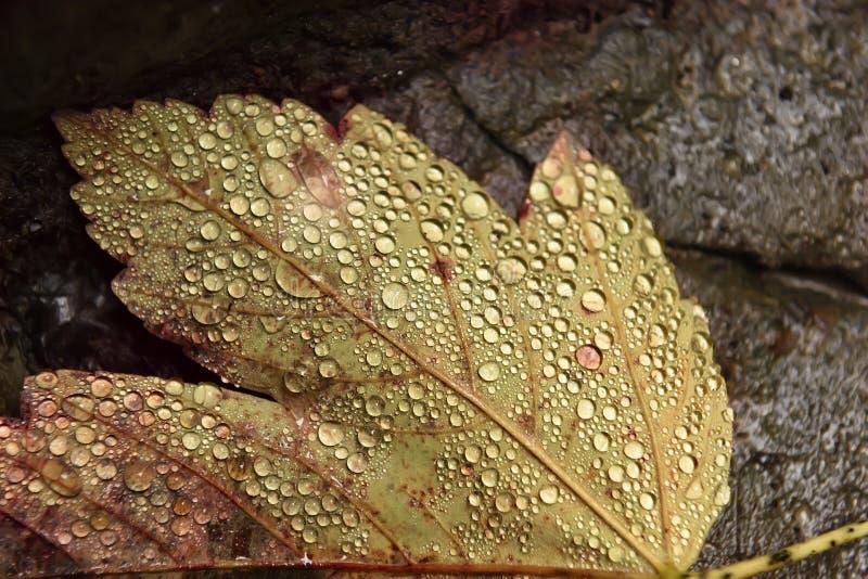 Gult blad för höst i droppar av fuktighet arkivfoton