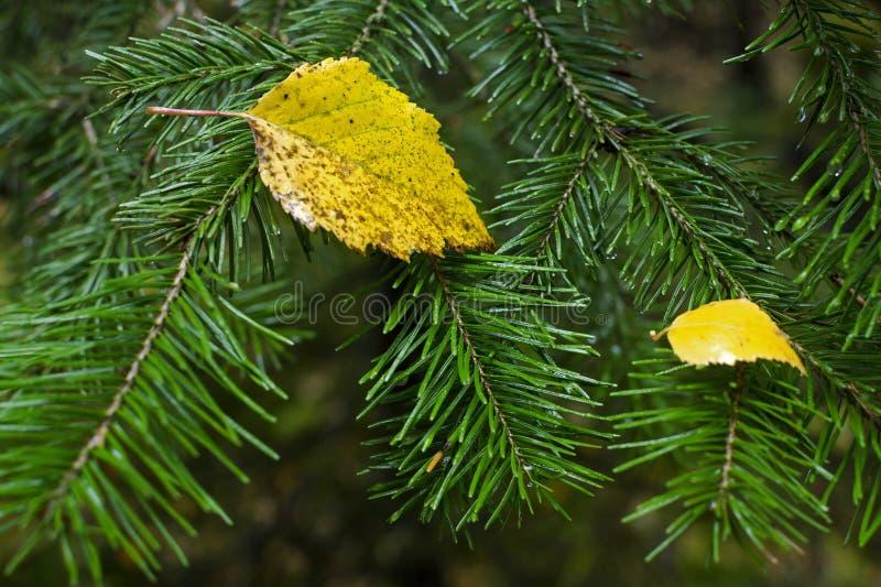 Gult blad på en filial av ett granträd med visare fotografering för bildbyråer