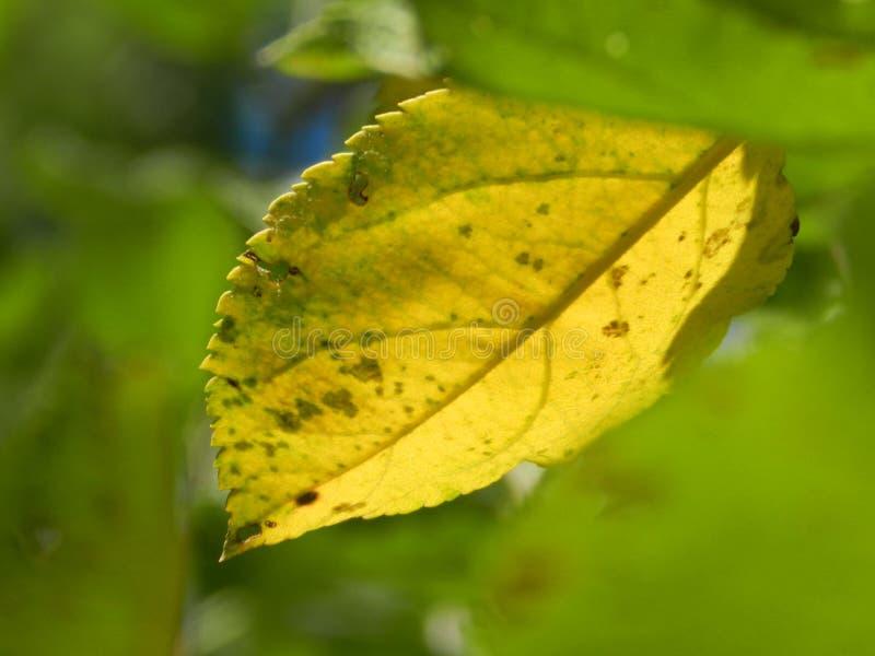 Gult blad på en grön bakgrund royaltyfri bild