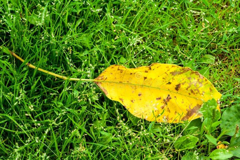 Gult blad som ligger på gräs arkivfoto