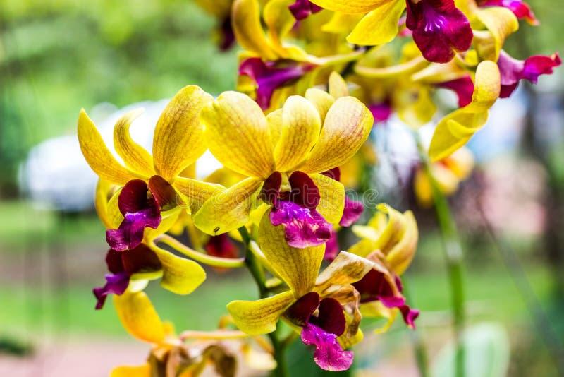 Gult blomma för orkidé som är härligt i härligt royaltyfri foto