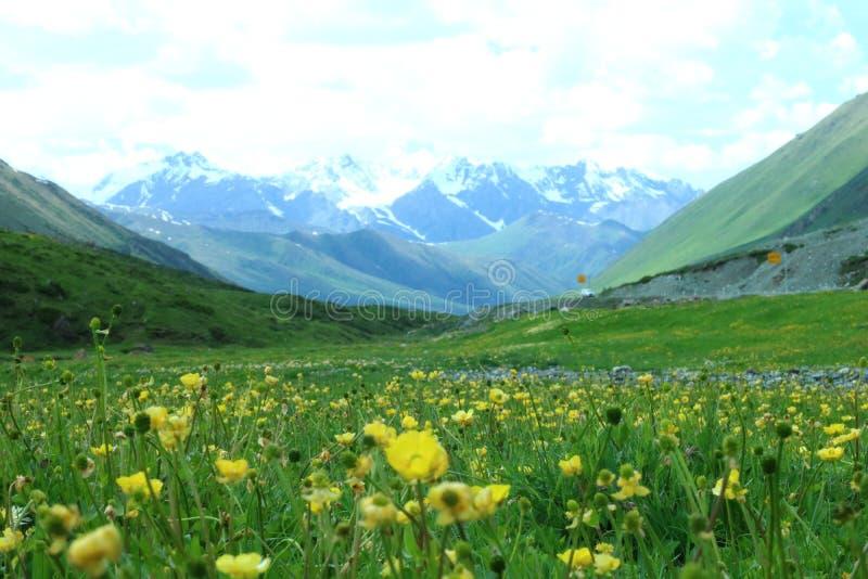 Gult blommafält med blå himmel och snöberget royaltyfria bilder