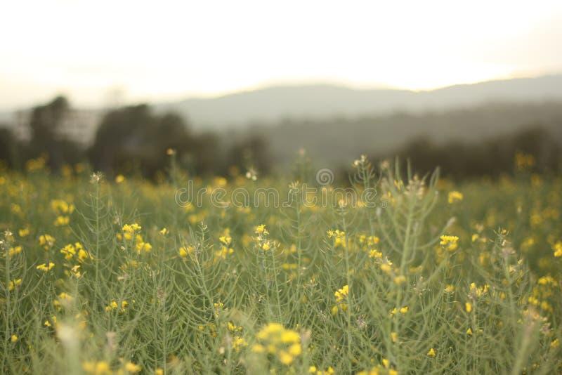 Gult blommafält med molnig himmel arkivfoton