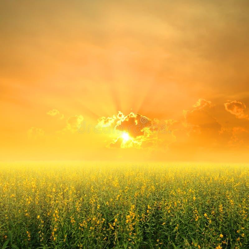 Gult blommafält och solnedgång i härlig dag royaltyfri fotografi