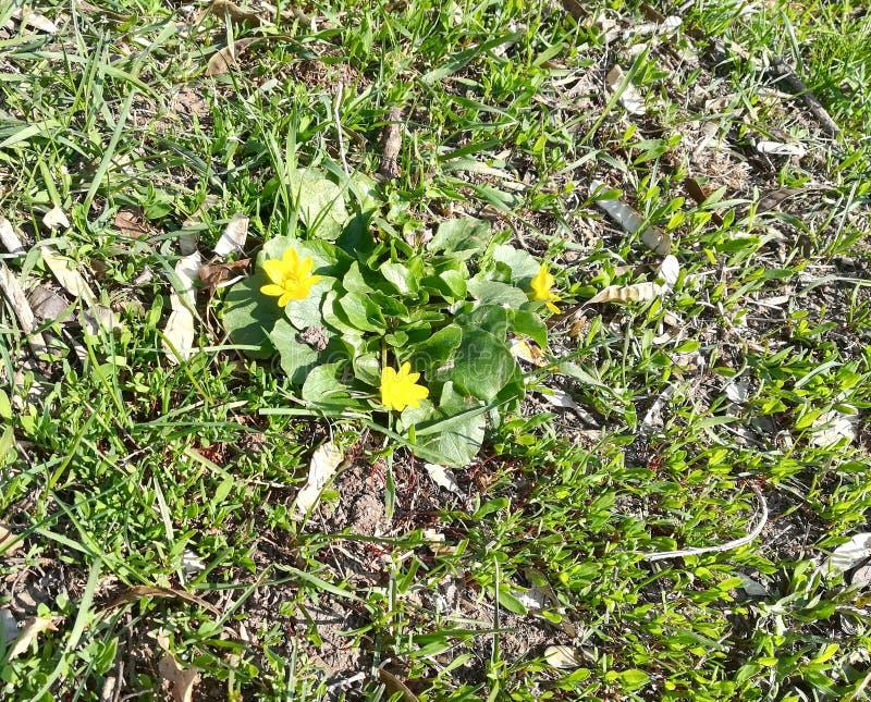 gult blommagräs i våren som blommar ängen royaltyfri fotografi