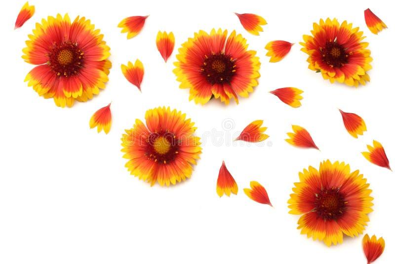Gult blommahuvud som isoleras p? vit bakgrund Top besk?dar arkivbild