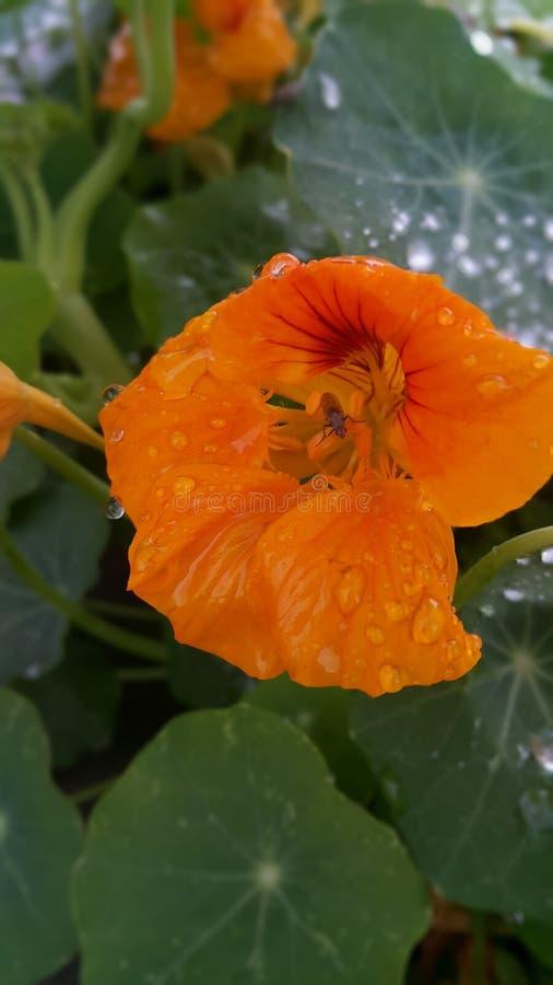 gult blommakryp inom royaltyfri fotografi