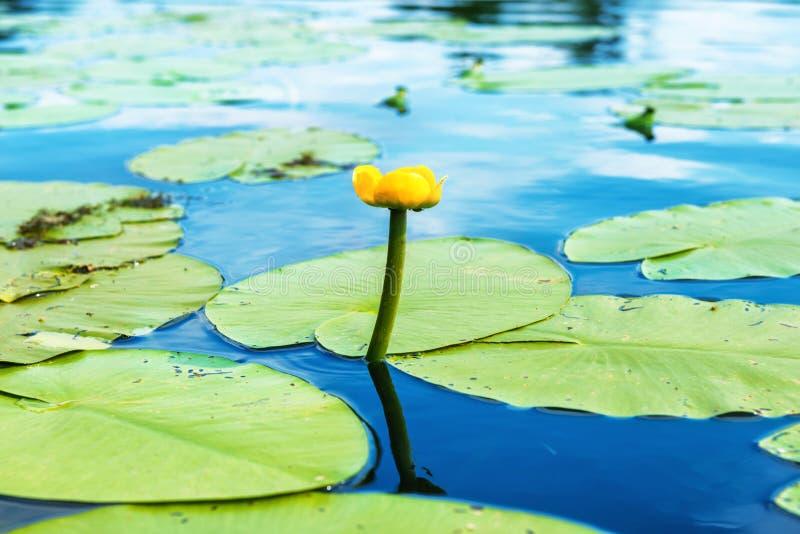 Gult blommavatten lilly fotografering för bildbyråer