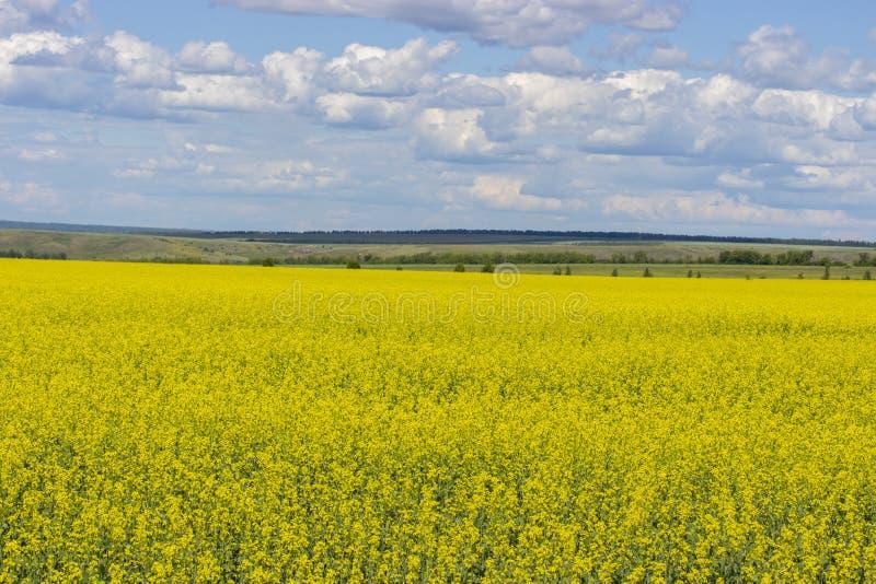 Gult fält av att blomma canola, Brassicanapus eller Brassicacampestris Fält av vårrapsfröt som blommar med liten guling arkivbilder