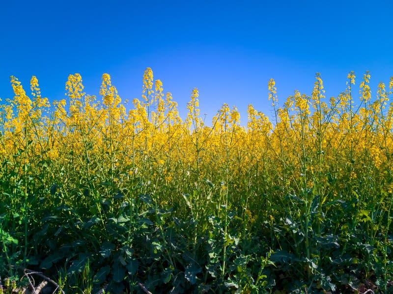 Gult fält av rapsfröblommaBrassica Napus mot den blåa himlen Vårfältet av att blomma vinter våldtar Fowering rapsfrö royaltyfria foton