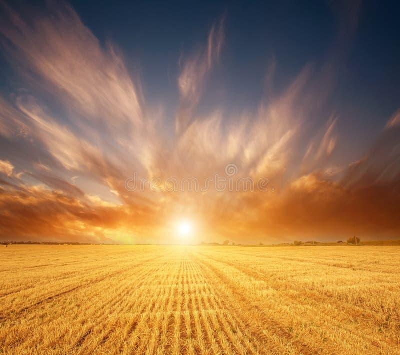 Gult fält för vetekorn av sädesslag på bakgrund av storartat solnedgånghimmelljus och färgrika moln arkivbild