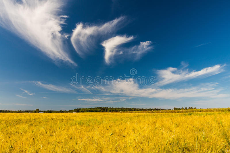 Gult fält och blå sky. arkivbild