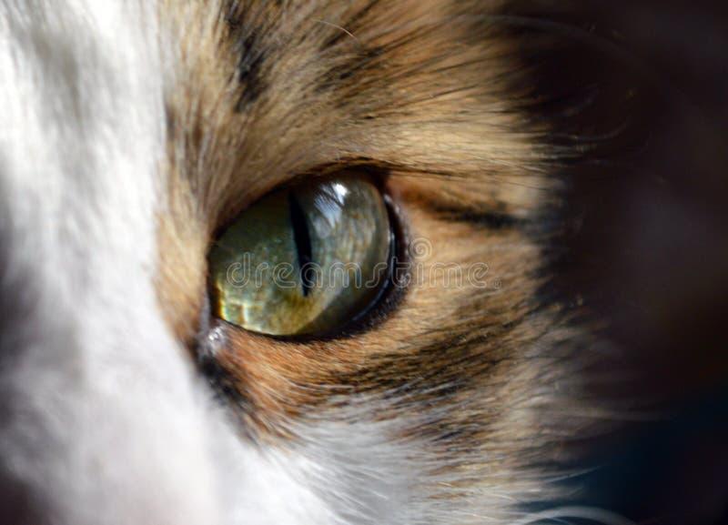 Gult - grönt kattöga, katt för blickstrimmig kattfärg royaltyfria bilder