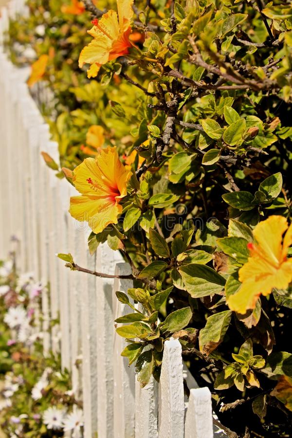Gult hibiskusblommastaket arkivbild