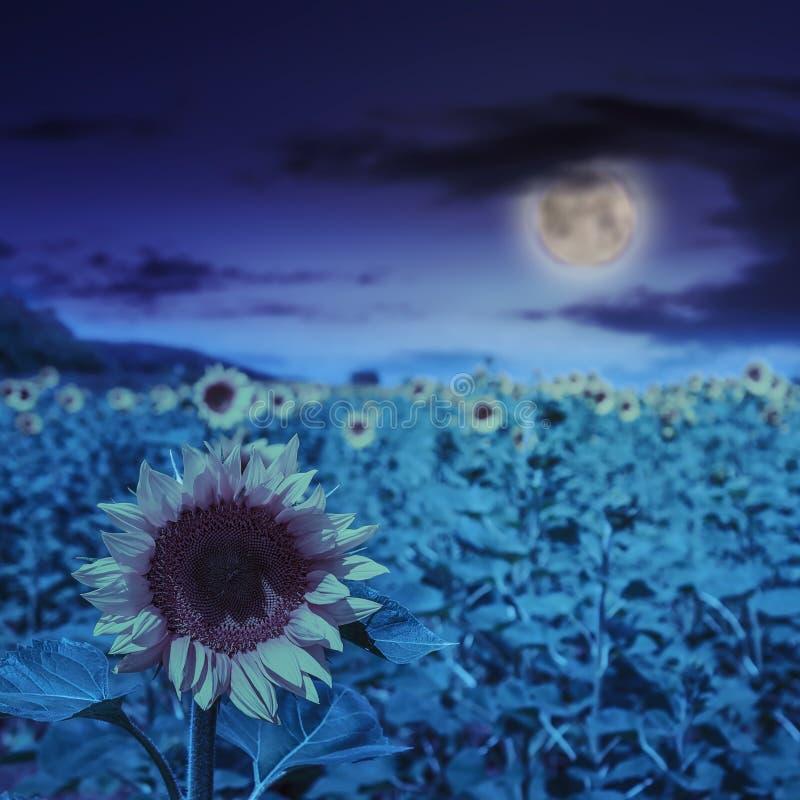 Gult huvud för solros på på natten royaltyfri bild