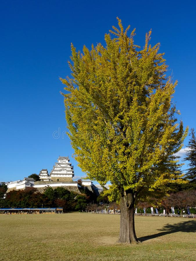 Gult kulört gingkoträd med den Himeji slotten i bakgrunden royaltyfri fotografi