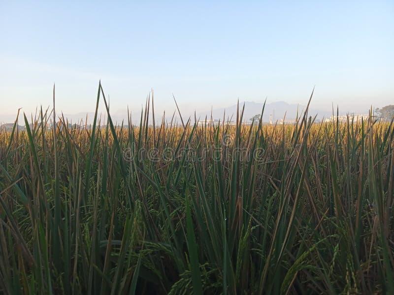 Gult och grönt gräs i morgon royaltyfri fotografi