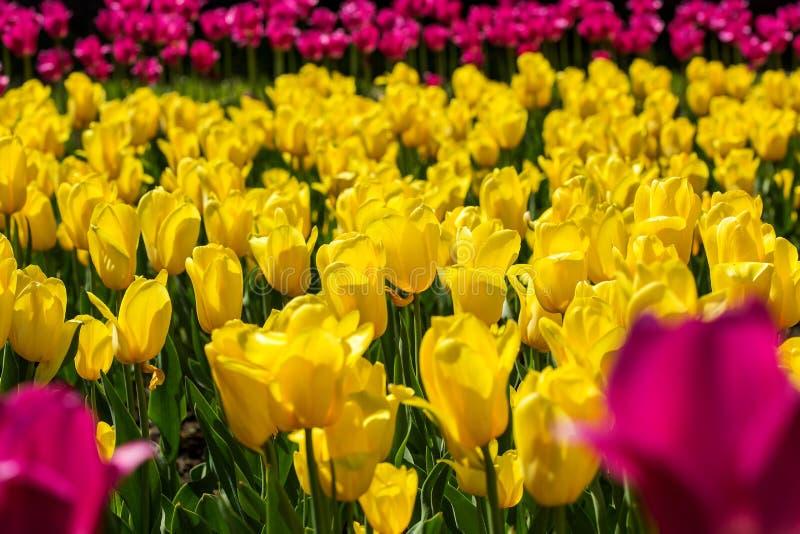 Gult och rosa tulpanfält royaltyfri bild