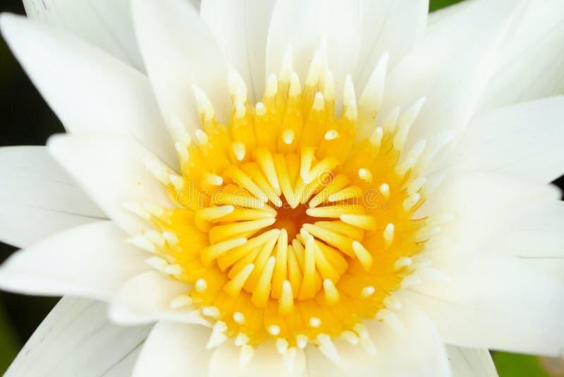 Gult pollen för Closeup av vit lotusblomma i dammet, buddismsymbol arkivfoton