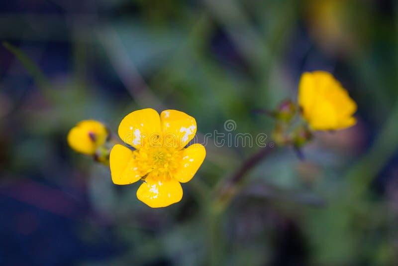 Gult skott för blommacloseupmakro royaltyfri foto