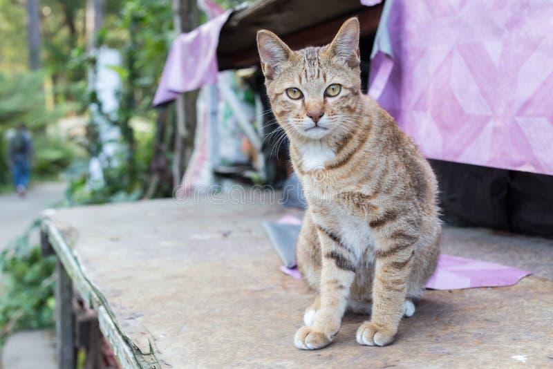 Gult synat ligga för gullig thailändsk katt på trätabellblick på kameran royaltyfri foto