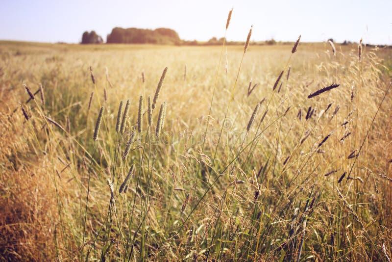 Gult torrt gräs i fältet, blå himmel, höstlandskap, bakgrund arkivfoto