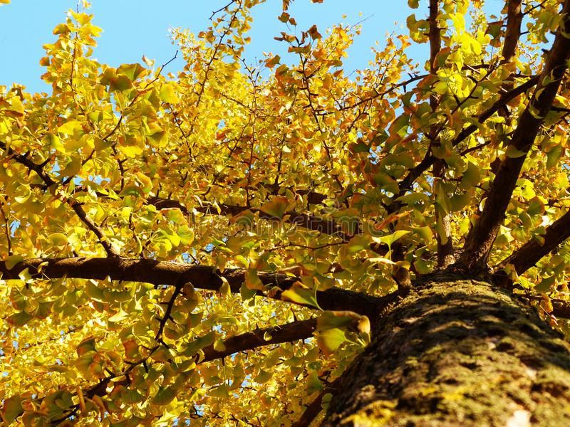 Gult träd i nedgången royaltyfri fotografi
