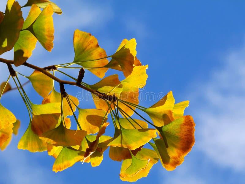 Gult träd i nedgången med blå himmel royaltyfria foton