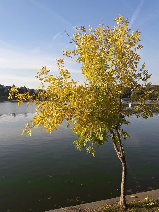 Gult träd på sjökusten royaltyfria foton