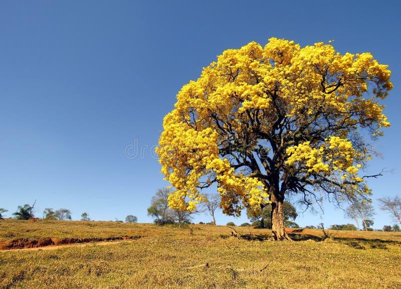gult träd som täckas i blommor Handroanthus albus fotografering för bildbyråer