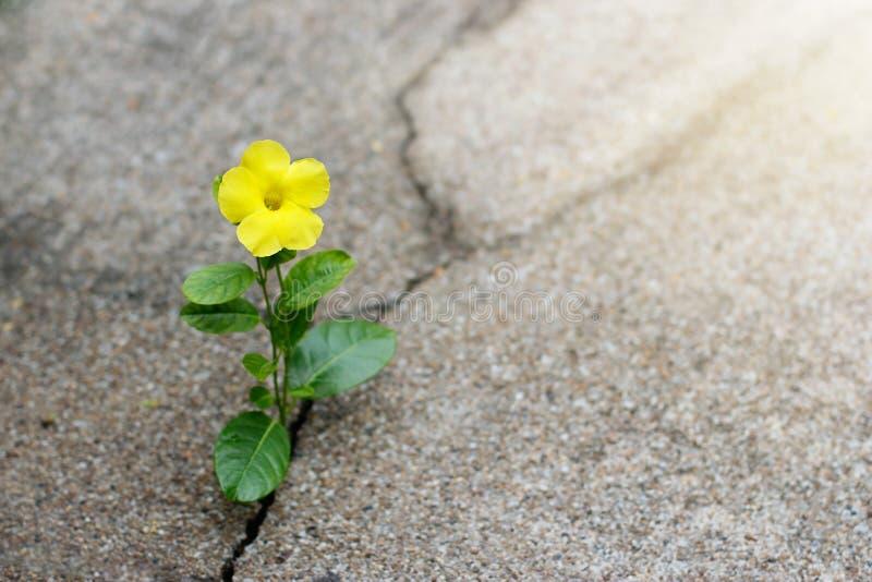 Gult växa för blomma på sprickagatan, hoppbegrepp royaltyfria foton