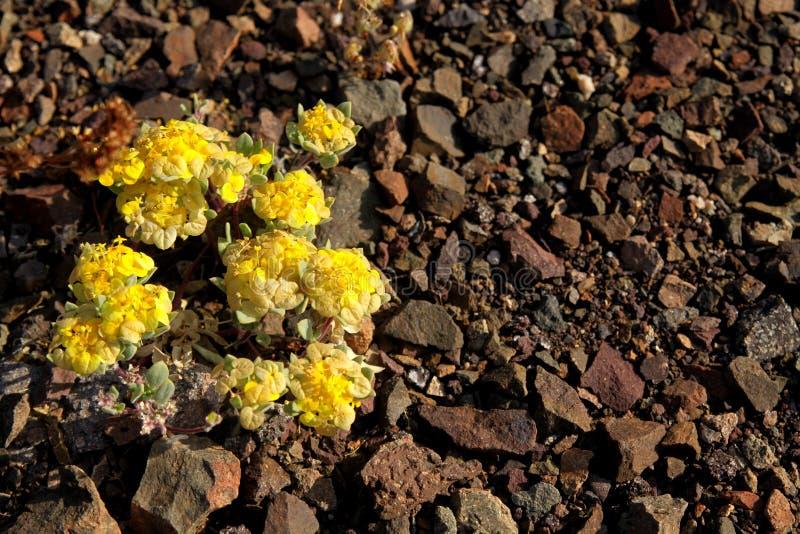 Gult växa för Rosita Cruckshaksia verticillatablomma på torr jordning av små stenar i ointressant landskap av den Atacama öknen fotografering för bildbyråer