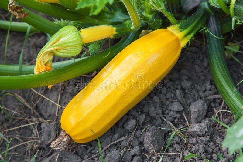 Gult växa för zucchini arkivfoton