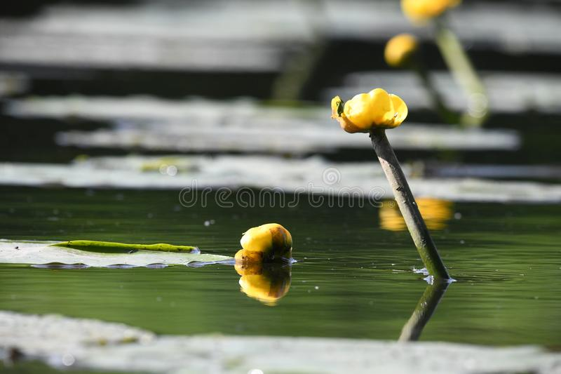 Gult vatten lilly i vattnet royaltyfria foton